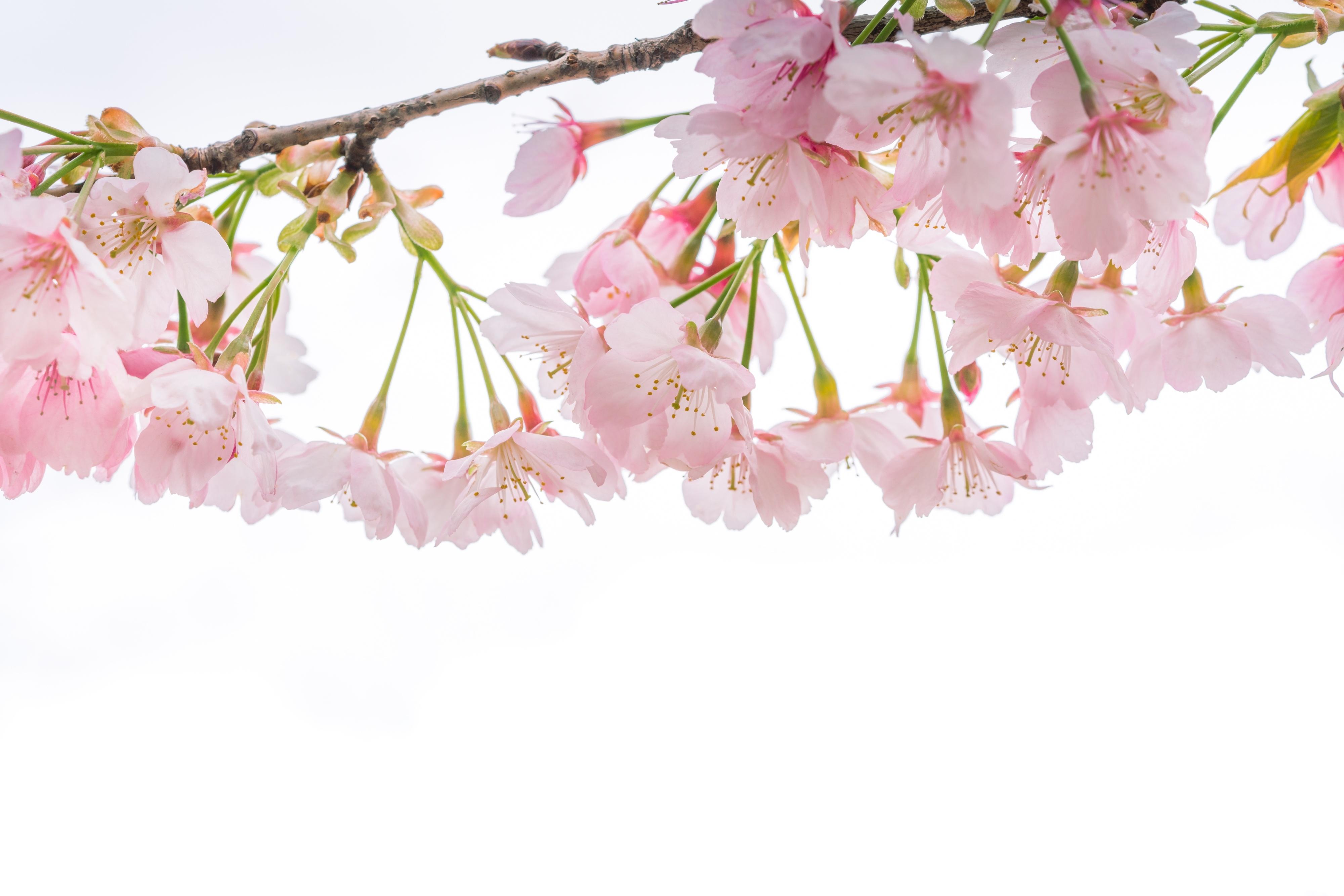 показать фотообои три д цветущей вишни ветки это актуально
