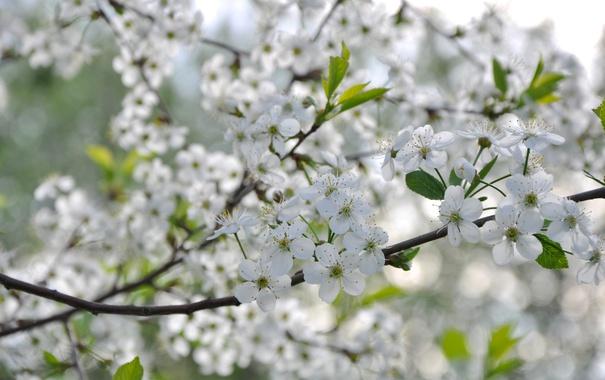 Фото обои вишня, дерево, весна, цветение