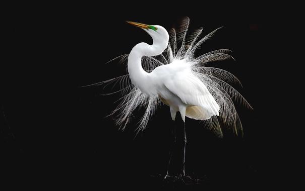 Фото обои птица, перья, белая, цапля