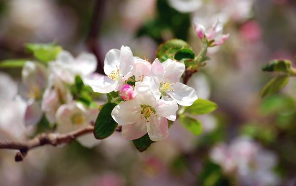 Фото обои дерево, нежность, весна, яблоня, цветение