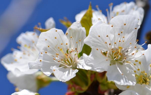 Фото обои макро, вишня, ветка, весна