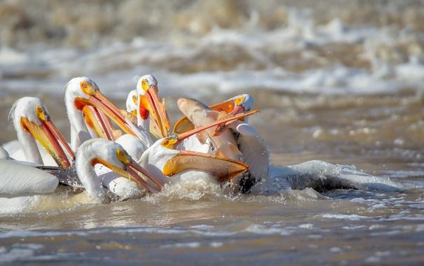 Фото обои птицы, рыба, пеликаны
