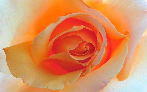 Фото обои цветок, макро, фон, роза, цвет, красота