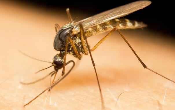 Фото обои insect, mosquito, virus, zika