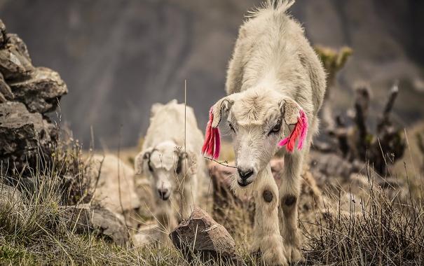 Фото обои природа, фон, козы