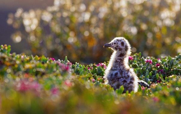Фото обои птица, Калифорния, США, цыпленок, западная чайка, Channel Islands National Park