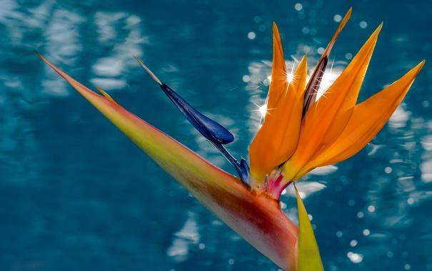 Фото обои вода, макро, фон, стрелитция, райская птица