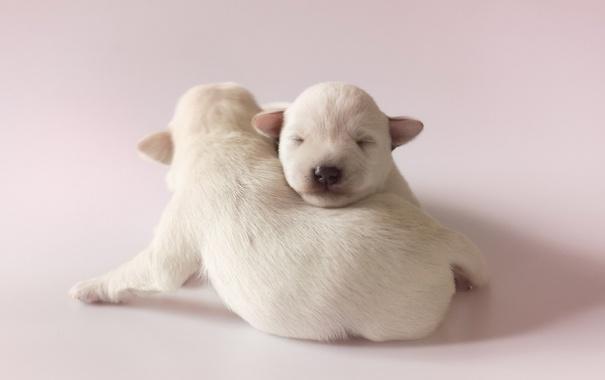 Фото обои собаки, поза, щенки