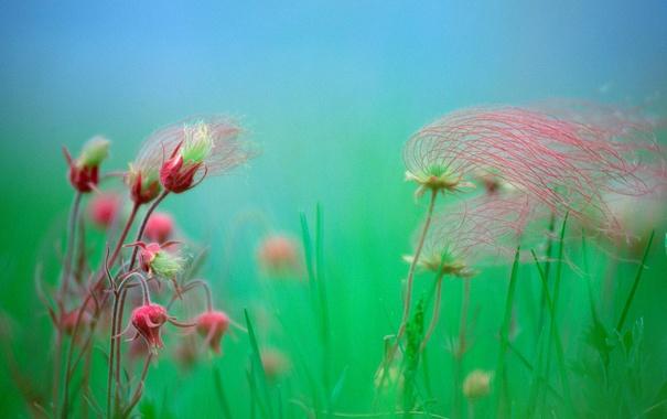 Фото обои растение, гравилат, дым прерии, авенс