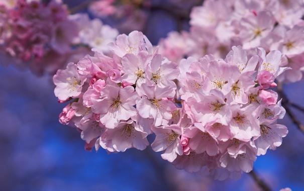 Фото обои вишня, розовый, сакура