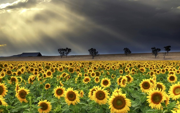 Фото обои поле, облака, лучи, деревья, цветы, тучи, дом