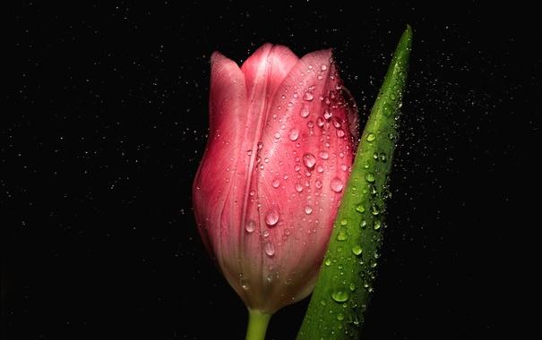 Фото обои капли, макро, тюльпан, бутон