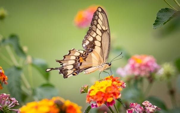 Фото обои бабочка, крылья, насекомое, махаон, лантана