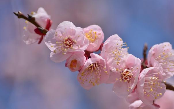 Фото обои розовый, ветка, весна, цветение