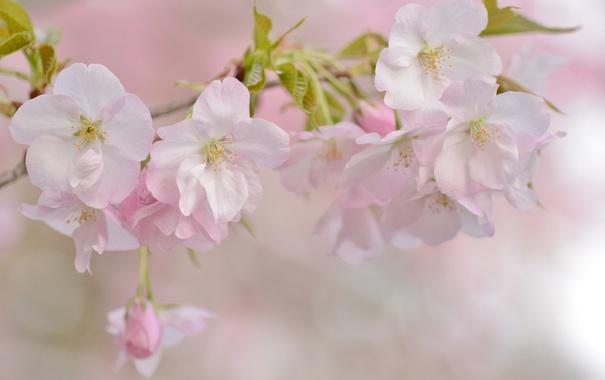 Фото обои вишня, нежность, ветка, весна, сакура