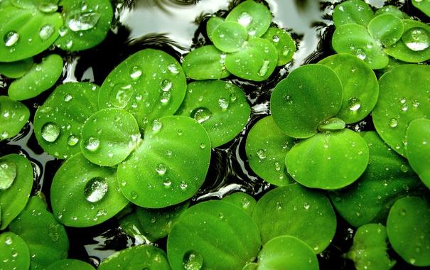 Фото обои вода, капли, зеленый. Растения