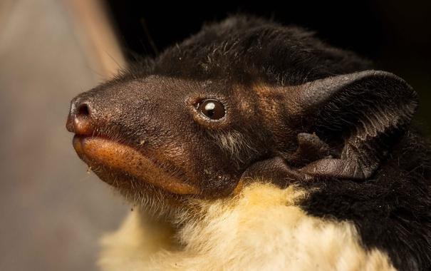 Фото обои Австралия, вид летучих мышей, Saccolaimus flaviventris
