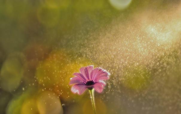 Фото обои цветок, блики, розовый, лепестки, боке, Маргаритка, под дождём