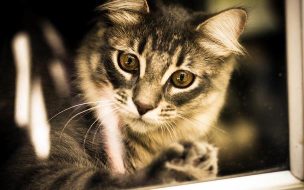 Фото обои глаза, взгляд, фон, сибирская кошка
