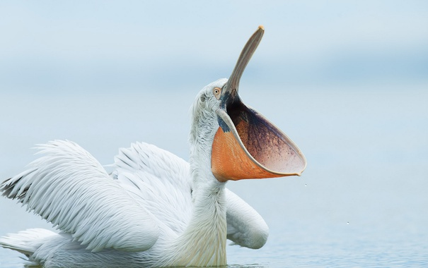 Фото обои природа, птица, пеликан