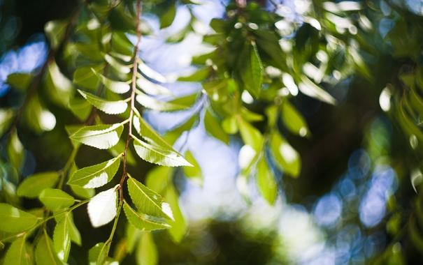 Фото обои листья, ветки, дерево