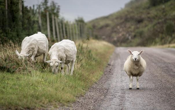 Фото обои дорога, природа, овцы