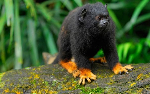 Фото обои шерсть, обезьяна, Бразилия