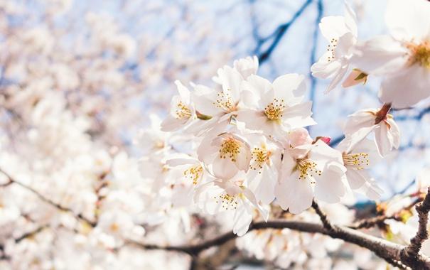 Фото обои небо, макро, свет, вишня, весна, сакура