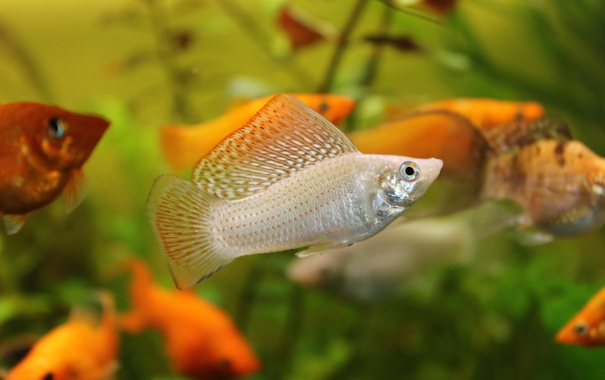 Фото обои nature, animal, fish, aquarium, Mollinesia, Poecilia latipinna, Molinesia