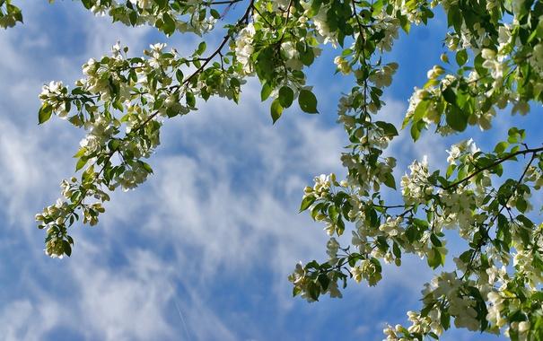 Фото обои небо, ветки, весна, яблоня