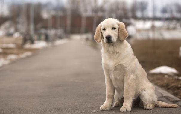 Фото обои пес, золотистый, ретривер