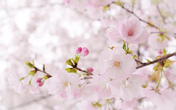 Фото обои дерево, розовый, нежность, весна, сакура