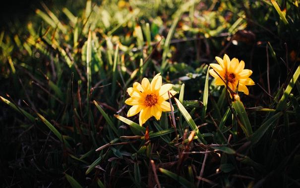 Фото обои трава, цветы, желтые, лепестки
