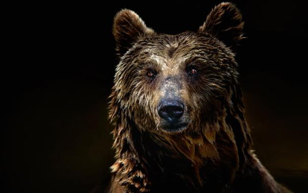 Фото обои взгляд, шерсть, медведь