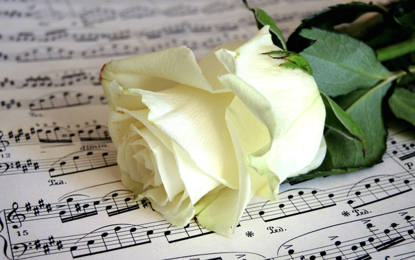 Фото обои ноты, роза, бутон