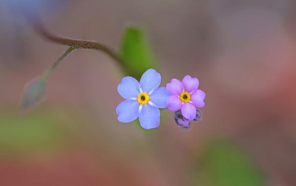 Фото обои цветок, природа, краски, лепестки, незабудка