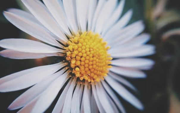 Фото обои цветок, ромашка, белые лепестки