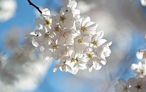 Фото обои небо, вишня, ветка, весна