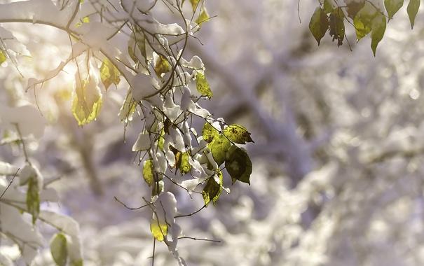 Фото обои листья, снег, природа