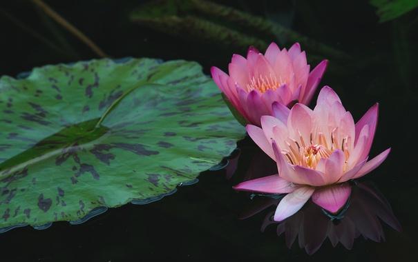 Фото обои вода, отражение, розовая, нимфея, водяная лилия