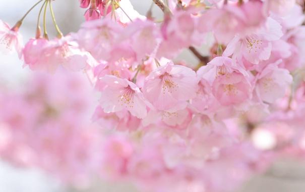 Фото обои вишня, розовый, весна, сакура