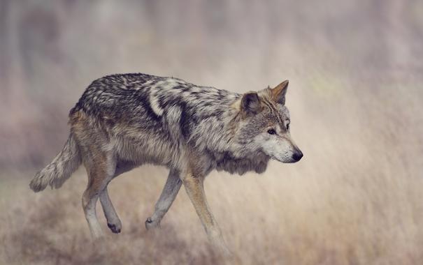 Фото обои трава, серый, фон, волк, хищник, размытие, боке
