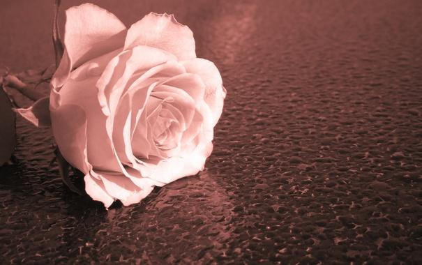 Фото обои макро, фон, роза