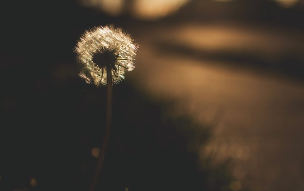 Фото обои ночь, природа, одуванчик