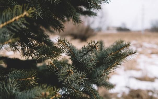 Фото обои иголки, дерево, елка