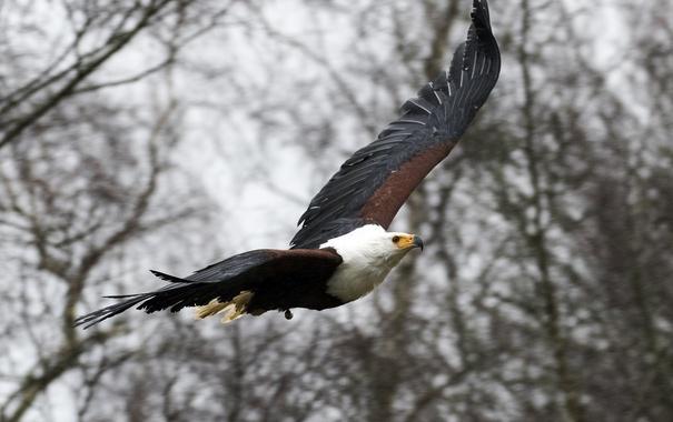 Фото обои фон, птица, орел, крылья