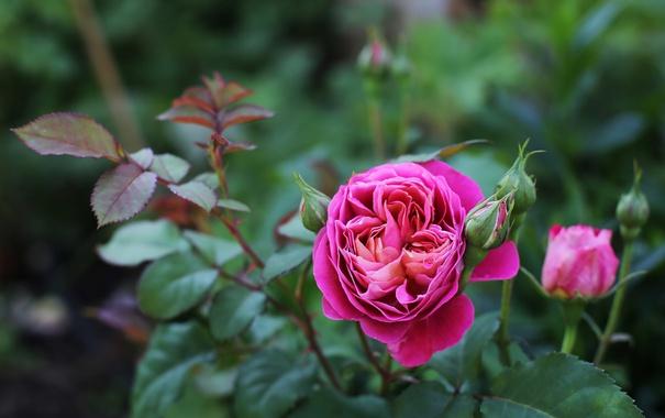 Фото обои розовый, роза, бутон