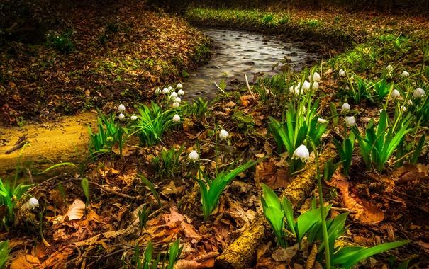 Фото обои листья, цветы, ручей, весна, ландыши