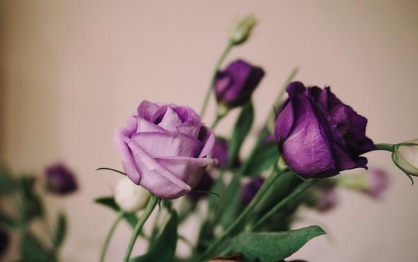 Фото обои цветы, розы, лепестки