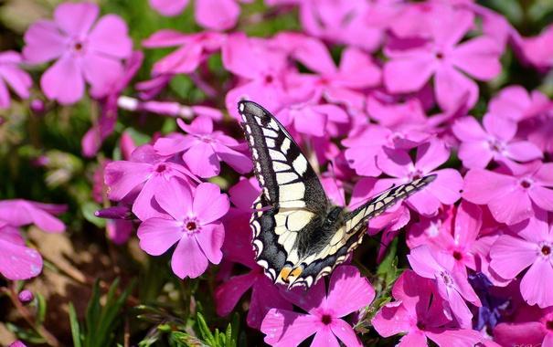 Фото обои розовый, бабочка, флоксы